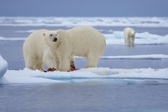 Polar Bears. Two polar bears share a seal carcass while another bear watches from an ice floe in the Svalbard Archipelago stock image