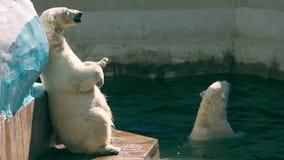 Polar bears stock video