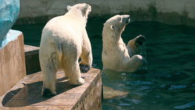Polar bears stock video