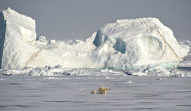 Polar Bears under an iceberg Stock Images