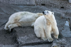 Polar bears (Ursus maritimus). A couple of polar bears at the Schonbrunn Zoo, Vienna Stock Image