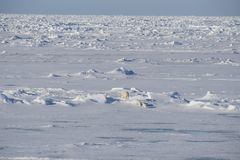 Polar bears walking on the ice. Royalty Free Stock Image