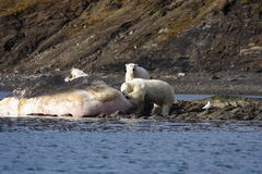 Polar Bears on a washed up sperm whale. Polar Bear on the horizon, Svalbard, Arctic Circle royalty free stock images