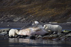 Polar Bears on a washed up sperm whale. Polar Bear on the horizon, Svalbard, Arctic Circle royalty free stock photos