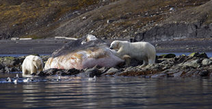 Polar Bears on a washed up sperm whale. Polar Bear on the horizon, Svalbard, Arctic Circle stock photos