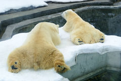 Polar  bears  in zoo Stock Photography