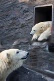Polar bears at zoo. Two polar bears (Thalarctos maritimus) at zoo Stock Image