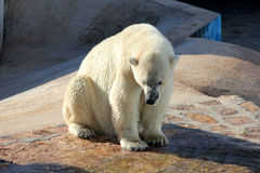 A Polar Bears in a Zoo Stock Photo