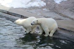 Polar bears. At the zoo near the water Royalty Free Stock Photography