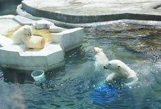 Polar bears at the zoo Stock Image