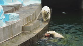 Polar bears at the zoo stock video footage