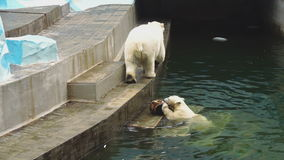 Polar bears at the zoo stock video