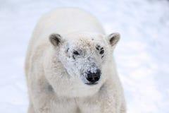 Polar betreffen Sie Schnee Stockfotografie