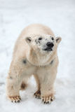 Polar betreffen Sie Schnee, Porträt eines Eisbären Stockfoto