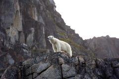 polar björn royaltyfri fotografi