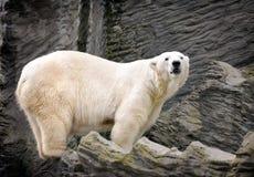 polar björn Arkivbilder