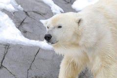 polar björn Fotografering för Bildbyråer