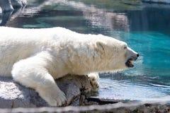polar björn Royaltyfri Bild