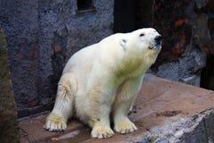 polar björn Royaltyfria Foton