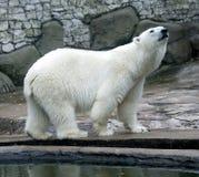 polar björn 9 Arkivbild