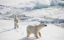 Polar björn och gröngöling Fotografering för Bildbyråer