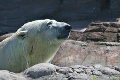 Polar björn på rocks Arkivfoto