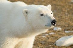 polar björnblick Arkivfoto