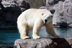 polar björnframsida Fotografering för Bildbyråer