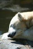 polar björnframsida Royaltyfria Foton