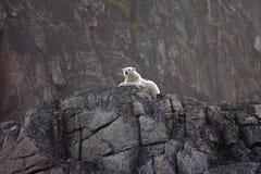 polar björnklippa arkivfoto