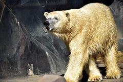 polar björnlook arkivfoton