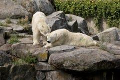 polar björnlook Royaltyfri Fotografi