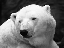 polar björnlook Royaltyfria Foton