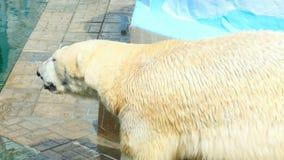 polar björnlook arkivfilmer