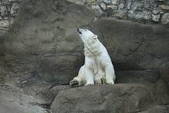 polar björnlook Arkivbilder