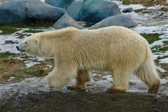 polar björnlook Arkivfoto