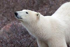 polar björnlook Royaltyfri Bild