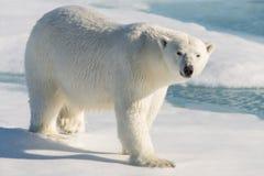 polar björnlook fotografering för bildbyråer
