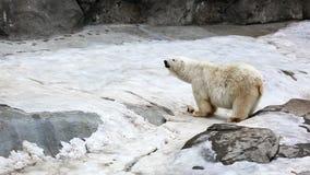 polar björnlook stock video