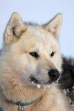 Polar-carregue o cão de trenó do caçador com gelo em sua barba imagem de stock