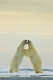 Polar dancing on the ice. Two polar bear fighting on drift ice in Arctic Svalbard. Wildlife winter scene with two polar bear. Polar bear dancing on the ice. Two royalty free stock images