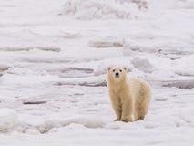 Polar ela-carregue com filhotes foto de stock royalty free