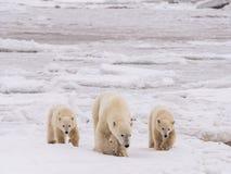 Polar ela-carregue com filhotes imagem de stock