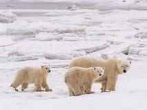 Polar ela-carregue com filhotes fotografia de stock
