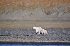 Polar female bear and bear cub 2 Royalty Free Stock Photos