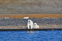 Polar female bear and bear cub Stock Photography