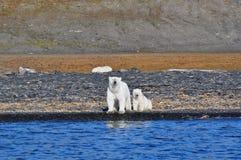 Polar female bear and bear cub Stock Photography