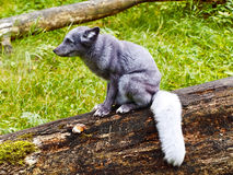 Polar fox Stock Photo