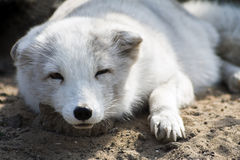 Polar fox Royalty Free Stock Image