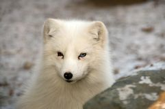 Polar fox. Royalty Free Stock Images